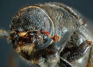 The mountain pine beetle. Courtesy Simon Fraser University.